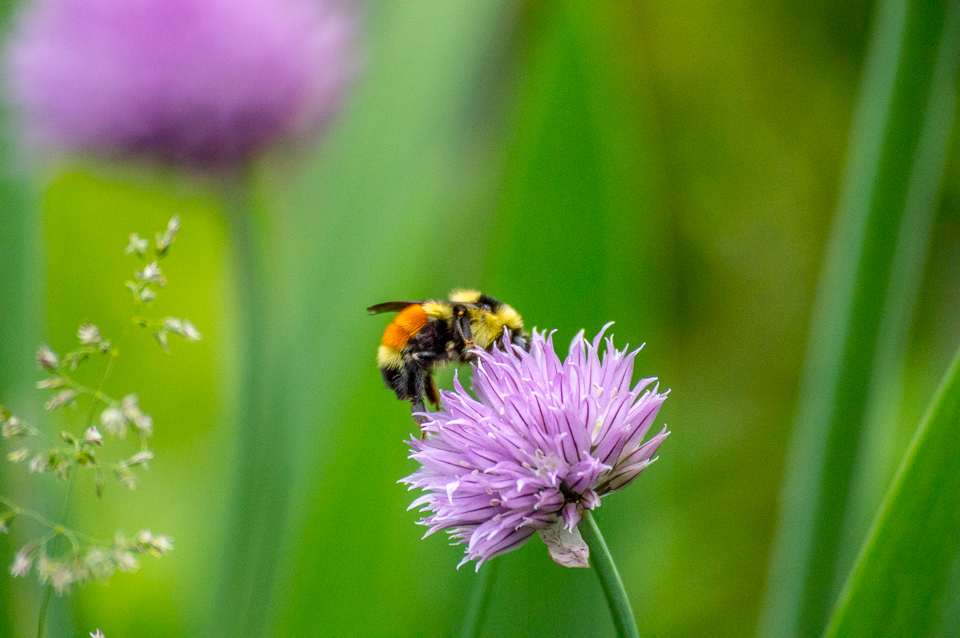 Bubble Bee on Chives